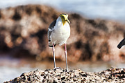 Lapwing Photos - Yellow Mask by Douglas Barnard