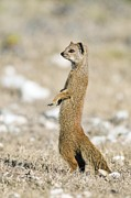 Meerkat Posters - Yellow Mongoose Poster by Peter Chadwick