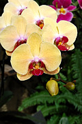 Paintng Framed Prints - Yellow Moth Orchids Framed Print by Eva Kaufman