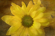 Muted Framed Prints - Yellow Mums Framed Print by Benanne Stiens