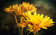Mums Digital Art Framed Prints - Yellow Mums Framed Print by Svetlana Sewell
