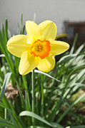 Trumpet Photo Originals - Yellow narcissus by Igor Sinitsyn