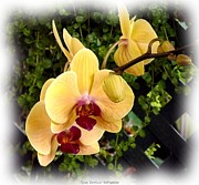 Jagged Border Photo Framed Prints - Yellow Orange Orchids Framed Print by Rose Santuci-Sofranko
