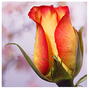Flower Fine Art Posters - Yellow Orange Rose Poster by Mike McGlothlen
