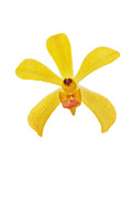 White Background Originals - Yellow Orchid by Atiketta Sangasaeng