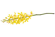 Spa-treatment Photos - Yellow Orchid Bunch by Atiketta Sangasaeng