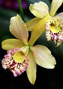 Sabrina L Ryan - Yellow Orchid Duo