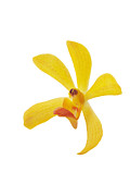 Spa Posters - Yellow Orchid Head Poster by Atiketta Sangasaeng