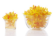 White Background Originals - Yellow Orchid Heads by Atiketta Sangasaeng