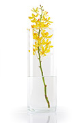Glass Photo Originals - Yellow Orchid In Vase by Atiketta Sangasaeng