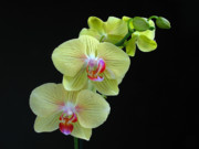 Orchid Artwork Posters - Yellow Orchidee Poster by Juergen Roth