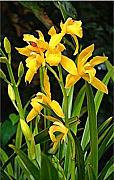 Willa Davis - Yellow Orchids I