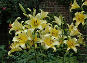 Plants From My Garden - Yellow Oriental Stargazer Lilies by Tom Wurl