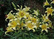 Plants From My Garden - Yellow Oriental Stargazer Lilies by Tom Wurl