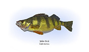 Fish Print Posters - Yellow Perch Poster by Ralph Martens