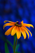 Wildflower Fine Art Prints - Yellow Petal Blues Print by Bill Tiepelman