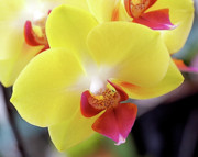 Design Photo Metal Prints - Yellow Phalaenopsis Orchids Metal Print by Rona Black