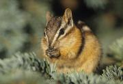 Singles Prints - Yellow Pine Chipmunk, Kananaskis Print by Darwin Wiggett
