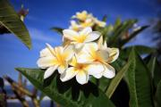 Plumeria Posters - Yellow Plumeria flowers on Maui Hawaii Poster by Michael Ledray