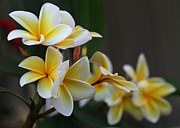 Lei Photos - Yellow Plumeria Flowers by Sabrina L Ryan