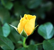 Yellow Rosebud Photos - Yellow Portland Rose by Cathie Tyler