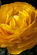 Folds Posters - Yellow Ranunculus Poster by Garry Gay