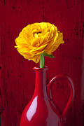 Folds Posters - Yellow Ranunculus In Red Pitcher Poster by Garry Gay