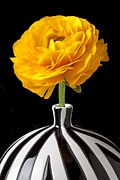 Yellow Flowers Posters - Yellow Ranunculus In Striped Vase Poster by Garry Gay