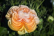 Decorative Floral Acrylic Prints - Yellow Ranunculus Acrylic Print by Joan Carroll
