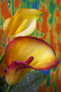 Aethiopica Posters - Yellow red calla lilies  Poster by Garry Gay