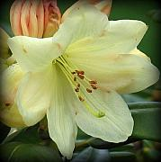 Floral Photographs Posters - Yellow Rhododendren Poster by Mg Rhoades