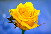 Single Rose Stem Photos - Yellow Rose by © Karmen Smolnikar