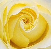Yellow Drawings Originals - Yellow Rose by Amanda Schambon