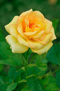 Wet Rose Prints - Yellow Rose Print by Atiketta Sangasaeng