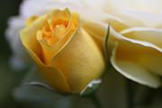 Yellow Rose Bud Flower Print by Jennie Marie Schell