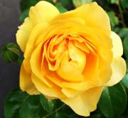 Decor - Yellow Rose by Cathie Tyler
