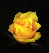 Flower Works Photos - Yellow Rose. by Chris  Kusik