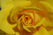 Droplets Originals - Yellow Rose by David Lee