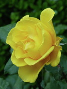 Gordon Taylor - Yellow Rose