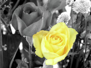 Selective Colouring Prints - Yellow Rose Print by Graham Taylor