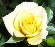Roses Photos - Yellow Rose by Heather Chaput