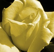 Rose Art - Yellow Rose by JAMART Photography