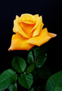 Rosaceae Posters - Yellow Rose Poster by Michael Peychich