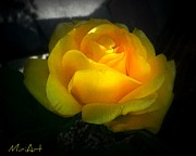 Miriam Shaw - Yellow Rose