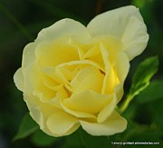 Florida Flowers Prints - Yellow Rose of Florida Print by Sherry Gombert