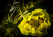 Prickly Rose Framed Prints - Yellow Rose of Texas Framed Print by Teresa Dixon