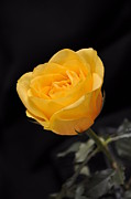 Single Rose Stem Photos - Yellow Rose On Black Background by Déco