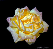 Mikki Cucuzzo - Yellow Rose on Black