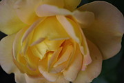 Sharon Spade - Kingsbury - Yellow Rose