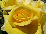 Susanna Raj - Yellow Rose